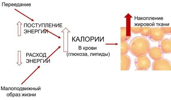 На схеме показан процесс накопления жировой ткани.